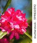 beautiful pink rhododendron... | Shutterstock . vector #599833592
