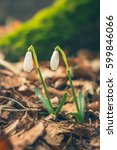 Two Beautiful Snowdrops In The...