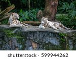 two white tigers are resting on ... | Shutterstock . vector #599944262