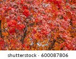 Small photo of Brilliant, vibrant colors on an American Mountain Ash tree in autumn