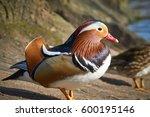 Mandarin Duck Side View