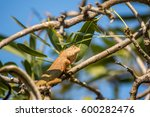 Small photo of Lizard (Oriental garden lizard, Eastern garden lizard, Changeable lizard, Calotes mystaceus, Calotes versicolor, Agamidae, Agamid liz') red and brown color on a tree in the garden