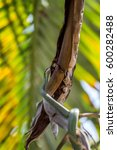 Small photo of Snake (Chrysopelea ornata, Golden tree snake, Ornate flying snake, Golden flying snake or Colubrid snk') green color with black cross-hatching and yellow or gold colored on a tree in the garden