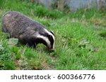 badger outside set in surrey... | Shutterstock . vector #600366776