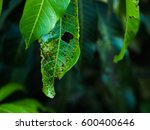 Close Up Diseased Green Mango...