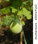 Small photo of winter melon hanging on the vine, ash gourd, tallow gourd or chinese preserving melon, fruit eaten as vegetable.