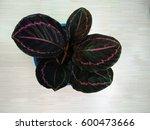 calathea dottie  calathea... | Shutterstock . vector #600473666