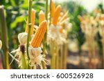 Corn Field On Crop Plant For...