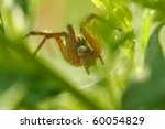 Small photo of Funnel Web Weaver Spider Agelenopsis sp