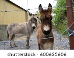 Curious Baby Hinny  Mule ...