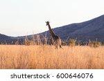 giraffe close up from... | Shutterstock . vector #600646076