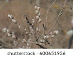 first spring buds on the tree | Shutterstock . vector #600651926