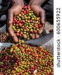 grains of ripe coffee in the...   Shutterstock . vector #600655922