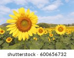 Sunflower Field In Sunny Summe...