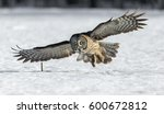 Stock photo the great grey owl in the golden light the great gray is a very large bird documented as the 600672812