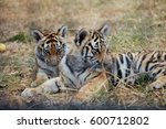 Playing Tiger Cubs. Young Tiger