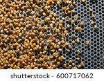 Dent Corn Grains On Seeds...