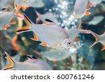 Tinfoil Barb Fish Or Barbonymu...