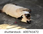 Siamese Cat Lying On Sidewalk