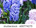 Close Up Of Blue Hyacinth...