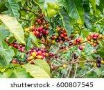 coffee tree   Shutterstock . vector #600807545