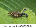 Small photo of lynx spider with prey. (Hamadruas sp)