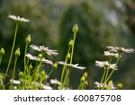 daisy flowers with buds | Shutterstock . vector #600875708