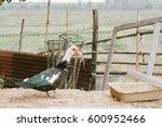 Mute Duck. Duck In Farm. Duck...