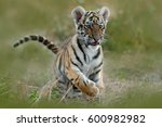 Cute Tiger Cub. Siberian Tiger...