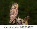 Long eared owl sitting on the...