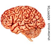 human brain lateral view | Shutterstock .eps vector #60099736