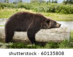 A Big Brown Bear Looks Very...