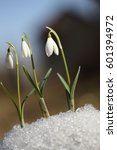 Snowdrops Grow From Under The...
