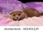 Stock photo scottish fold cat 601401125