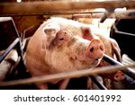 pig waiting for food at pigsty. ... | Shutterstock . vector #601401992