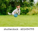 Stock photo bouncing dog playing at back yard jumping with toy ball 601454795