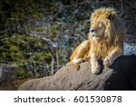 White Male Lion Relaxing On A...