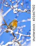 Cute Bird Robin. Winter Birds....