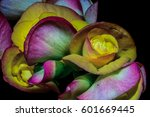 Colorful Begonia Blossoms On...