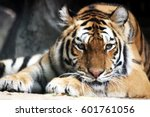 A Sleeping Siberian Tiger In A...