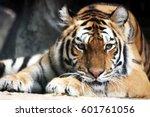 A Sleeping Siberian Tiger In A...
