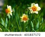 Narcissus. Jonquil. Narcissus...
