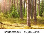 Pine Forest Panorama In Summer...