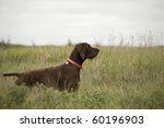 Pudelpointer Hunting Dog In...