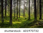 Dark forest background. Karelia forest trees