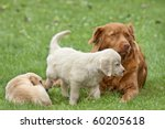 Stock photo two puppies golden retriever playing with a big dog 60205618