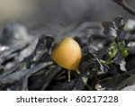 Small photo of Flat Periwinkle (Littorina obtusata), small yellow snail showing tentacles and on top of green seaweed, Eyemouth, Scotland, UK North Sea