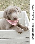 Stock photo silver lab puppy 602172998