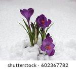 Crocus Flowers In The Snow