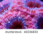 Small photo of This is a cluster of bright red and blue Acanthastrea coral